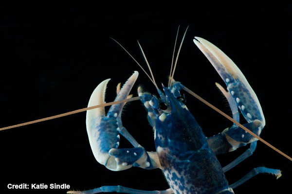 National-Lobster-Hatchery-small-lobster-with-black-background_Katie-Sindle_2